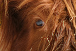 Schottisches Hochlandrind Auge / highland cattle eye