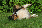 Langhaarcollie w�lzt sich / rolling longhaired collie