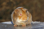 Glatthaarmeerschwein / smooth-haired guninea pig