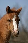 Deutsches Reitpony / pony