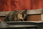 liegende Hauskatze / lying domestic cat
