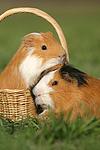 2 Glatthaarmeerschweine / 2 smooth-haired guninea pigs