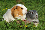 Glatthaarmeerschwein und Schopfmeerschwein / 2 guninea pigs