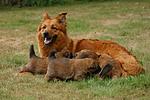 Harzer Fuchs mit Welpen / Harzer Fuchs with babys