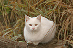 liegende wei�e Hauskatze / lying white domestic cat