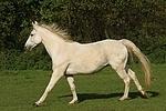 Sachsen Anhaltiner Warmblut / horse