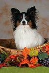 Papillon im K�rbchen / papillon in basket