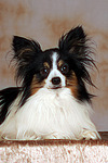 liegender Papillon / lying papillon