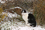 Hauskatze im Winter / domestic cat in winter