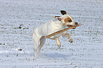 American Staffordshire Terrier spielt im Schnee / playing american staffordshire terrier in snow