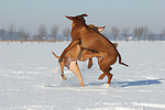 spielende Rhodesian Ridgebacks / playing Rhodesian Ridgebacks