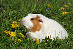 Crested Meerschwein / crested guninea pig