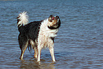 Border Collie sch�ttelt sich / shaking Border Collie