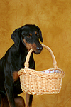 Dobermann apportiert Korb / Doberman Pinscher retrieves basket