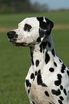 Dalmatiner / dalmatian