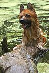 badender Harzer Fuchs / bathing Harzer Fuchs