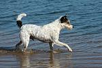 rennender Parson Russell Terrier / running PRT
