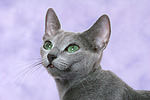 Russisch Blau Portrait / russian blue portrait