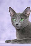 liegende Russisch Blau / lying russian blue