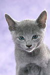 Russisch Blau K�tzchen Portrait / russian blue kitten portrait