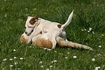 Jack Russell Terrier und Katze / jack russell terrier and cat