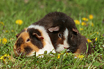 US-Teddy Meerschweine / US-Teddy guninea pigs
