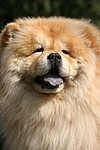 hechelnder Chow Chow / panting Chow Chow Portrait