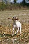spielender American Staffordshire Terrier / playing american staffordshire terrier