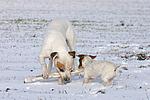 spielender American Staffordshire Terrier und Jack Russell Terrier / playing american staffordshire terrier and jrt