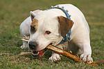 American Staffordshire Terrier knabbert an Stock / gnawing american staffordshire terrier