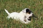 Parson Russell Terrier Welpe knabbert St�ckchen / PRT puppy