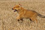 rennender Harzer Fuchs Welpe / running Harzer Fuchs puppy