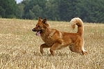 rennender Harzer Fuchs / running Harzer Fuchs
