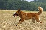 spielender Harzer Fuchs / playing Harzer Fuchs