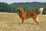 hechelnder Harzer Fuchs / panting Harzer Fuchs