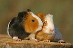 junge Glatthaarmeerschweine / young smooth-haired guninea pigs
