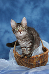 Norwegisches Waldk�tzchen / Norwegian Forestcat kitten