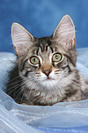 liegendes Norwegisches Waldk�tzchen / lying Norwegian Forestcat kitten