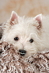 West Highland White Terrier Welpe / West Highland White Terrier Puppy