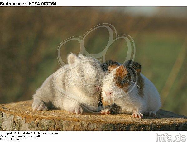 Meerschwein und Zwergkaninchen / guninea pig and dwarf rabbit / HTFA-007754