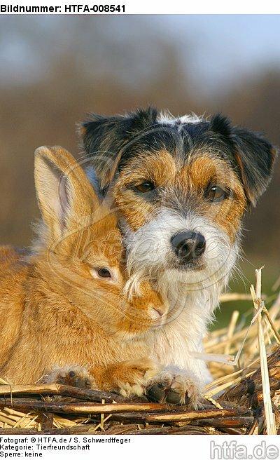 Parson Russell Terrier und Zwergkaninchen / prt and dwarf rabbit / HTFA-008541