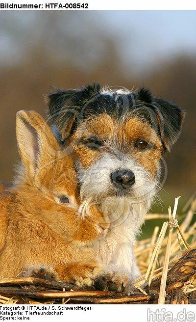 Parson Russell Terrier und Zwergkaninchen / prt and dwarf rabbit / HTFA-008542