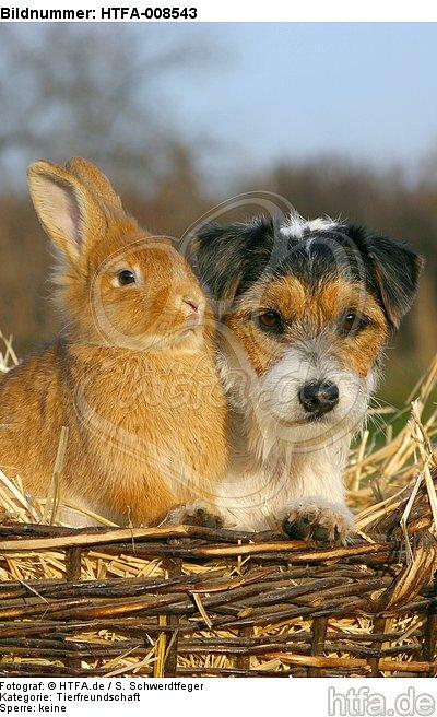 Parson Russell Terrier und Zwergkaninchen / prt and dwarf rabbit / HTFA-008543