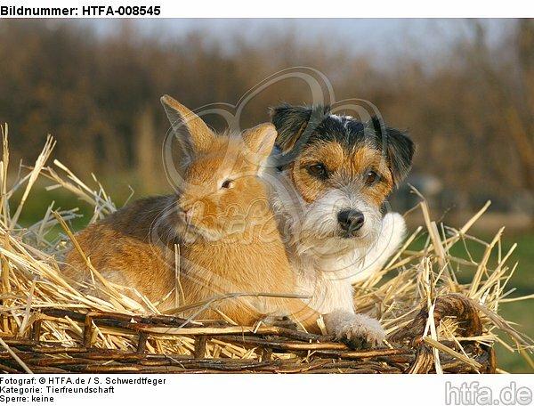 Parson Russell Terrier und Zwergkaninchen / prt and dwarf rabbit / HTFA-008545