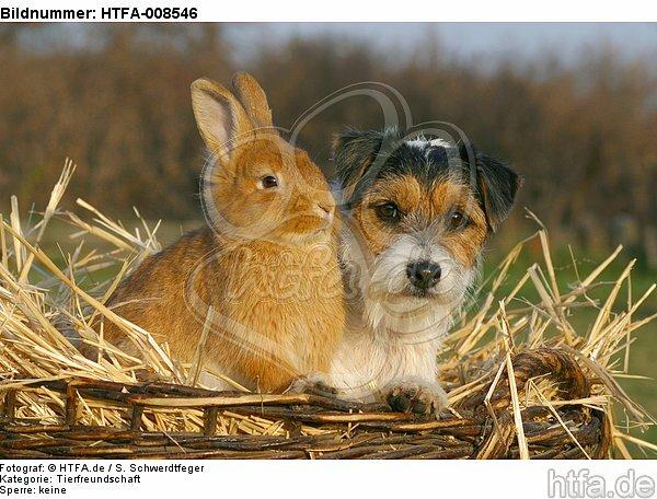 Parson Russell Terrier und Zwergkaninchen / prt and dwarf rabbit / HTFA-008546