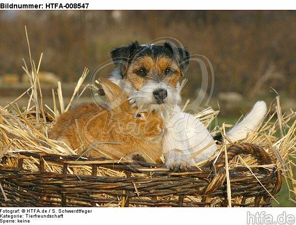 Parson Russell Terrier und Zwergkaninchen / prt and dwarf rabbit / HTFA-008547