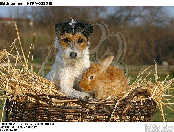 Parson Russell Terrier und Zwergkaninchen / prt and dwarf rabbit / HTFA-008548