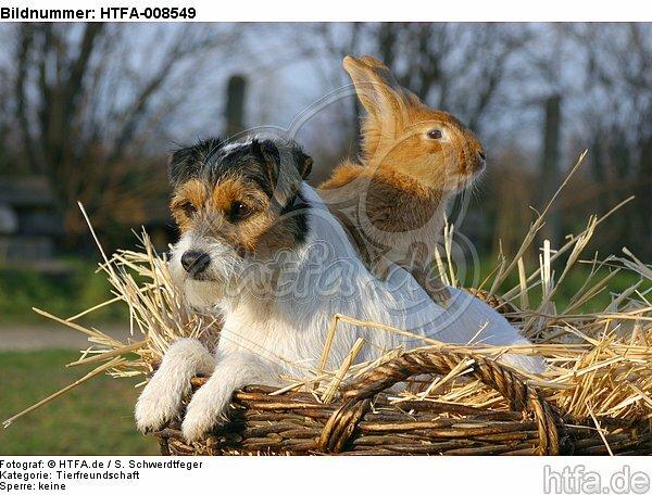 Parson Russell Terrier und Zwergkaninchen / prt and dwarf rabbit / HTFA-008549