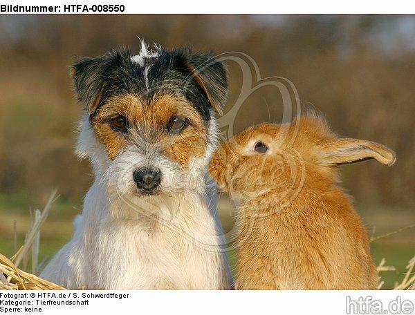 Parson Russell Terrier und Zwergkaninchen / prt and dwarf rabbit / HTFA-008550