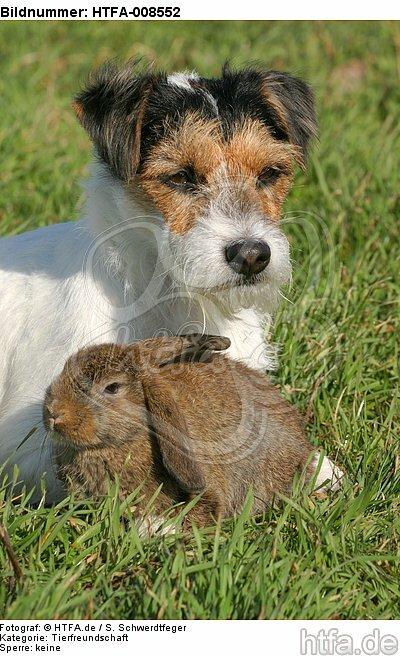 Parson Russell Terrier und Widderkaninchen / prt and lop-eared bunny / HTFA-008552